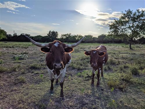Longhorn mama and baby