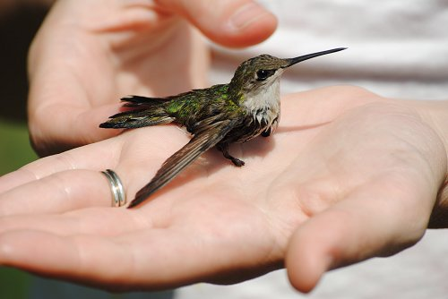 Ruby Throated Humming Bird (Female)