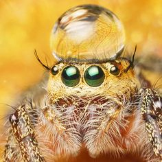 jumping spider with water hat
